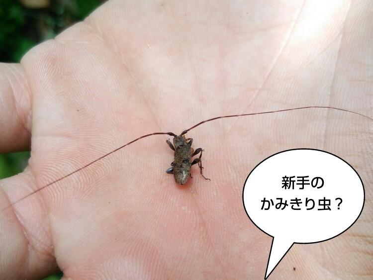 新手のかみきり虫?