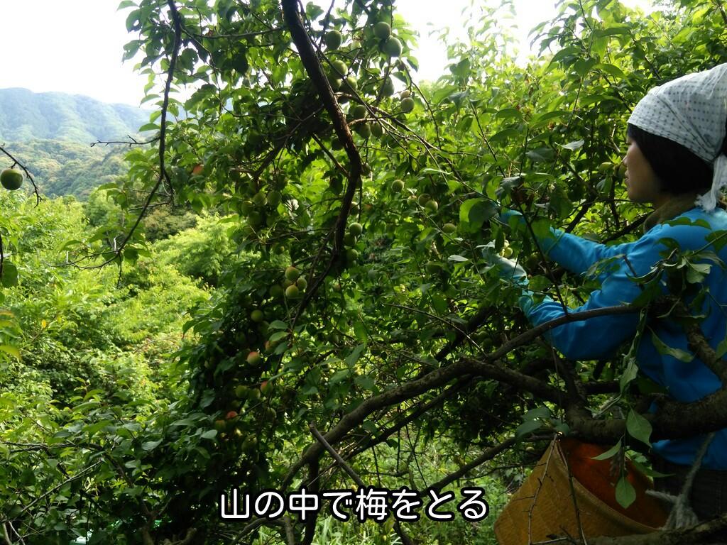 山の中で梅をとる
