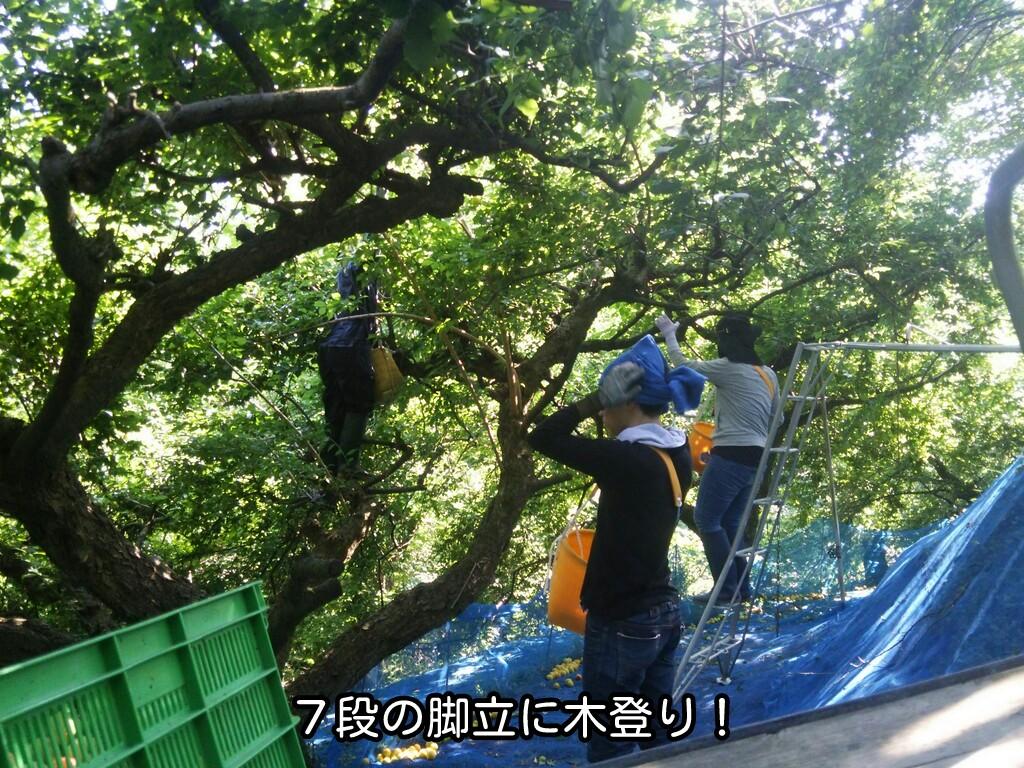 7段の脚立に木登り