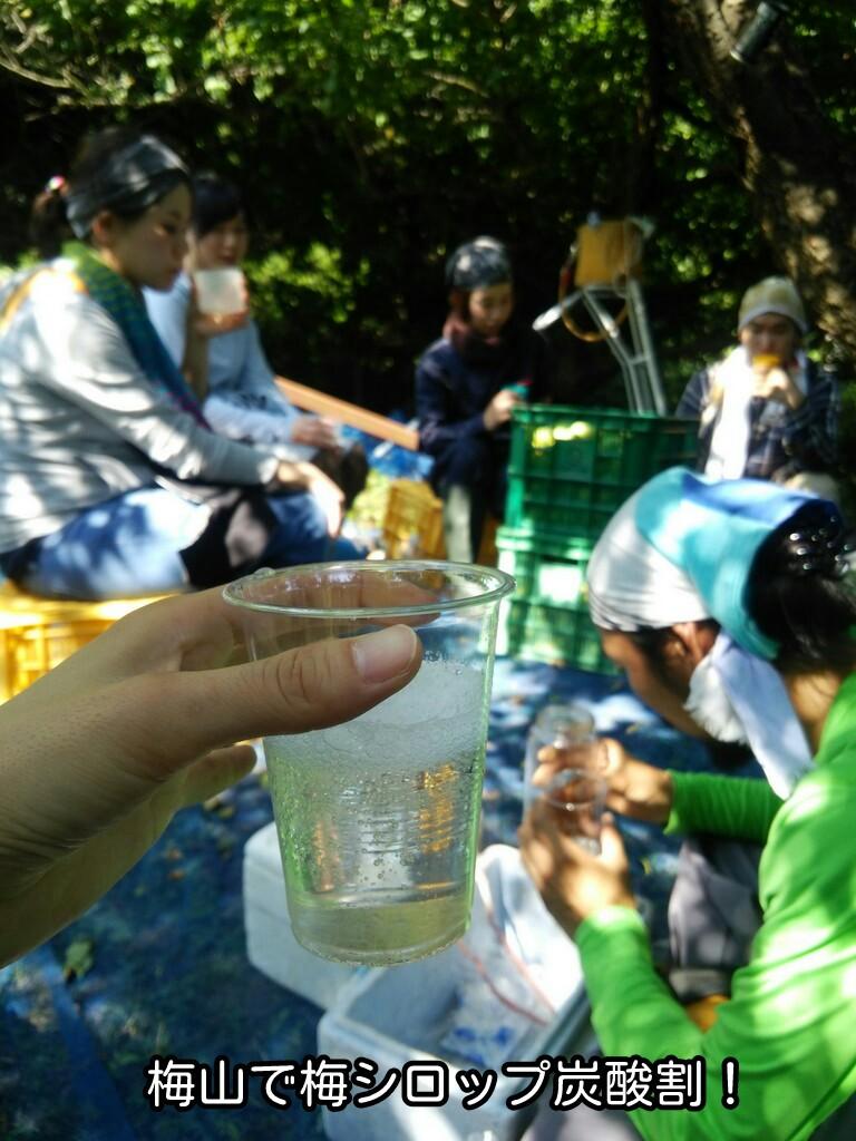 梅収穫に梅シロップの炭酸割