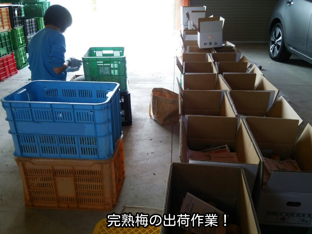 完熟梅の出荷作業