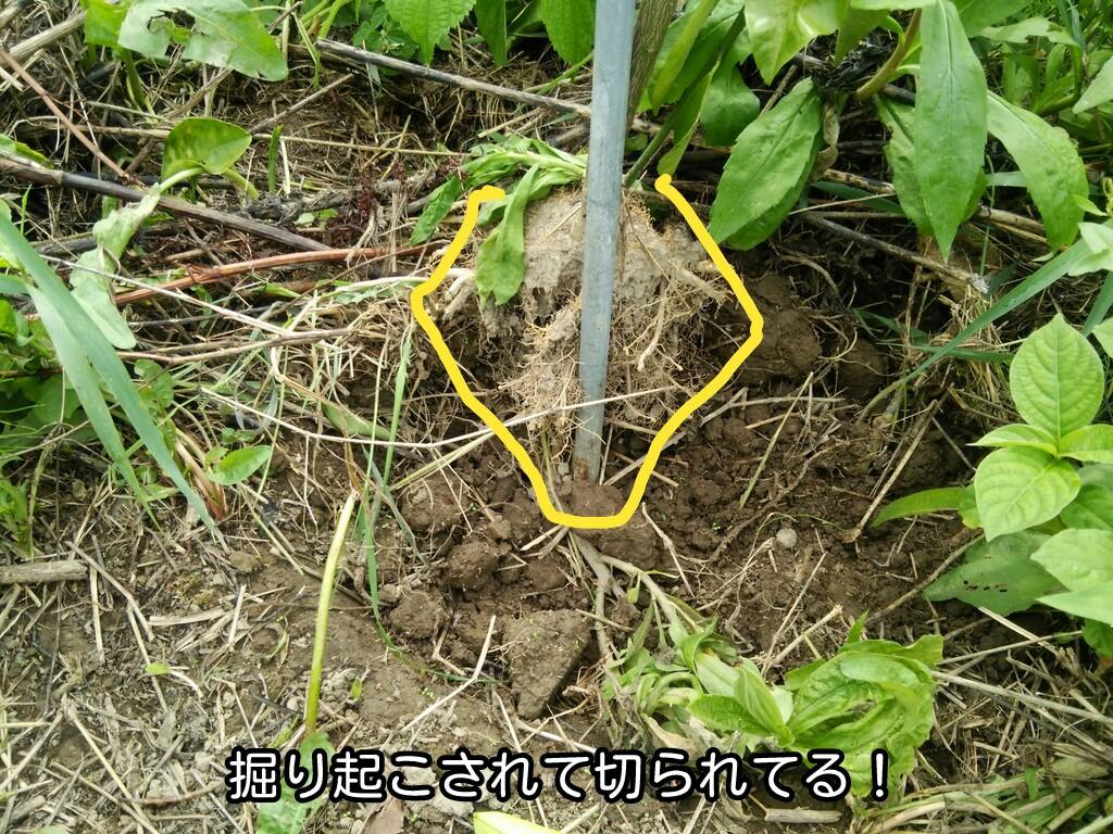 掘り起こされて切られてる!
