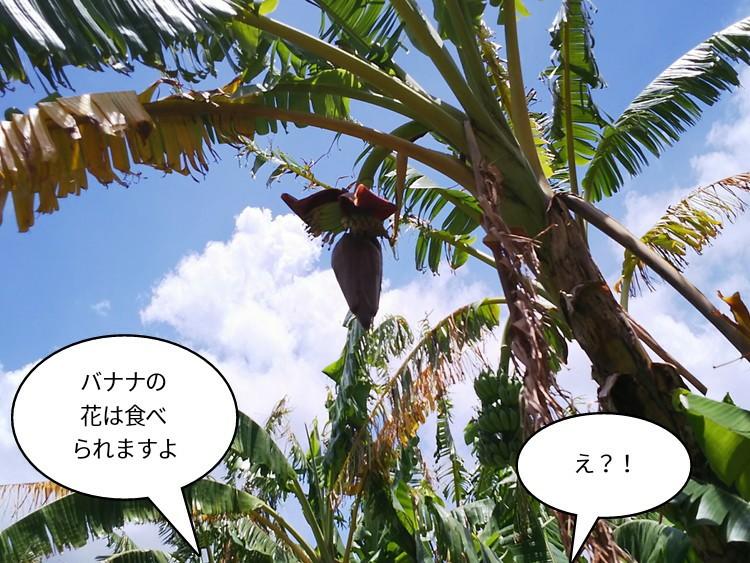 バナナの花は食べられますよ