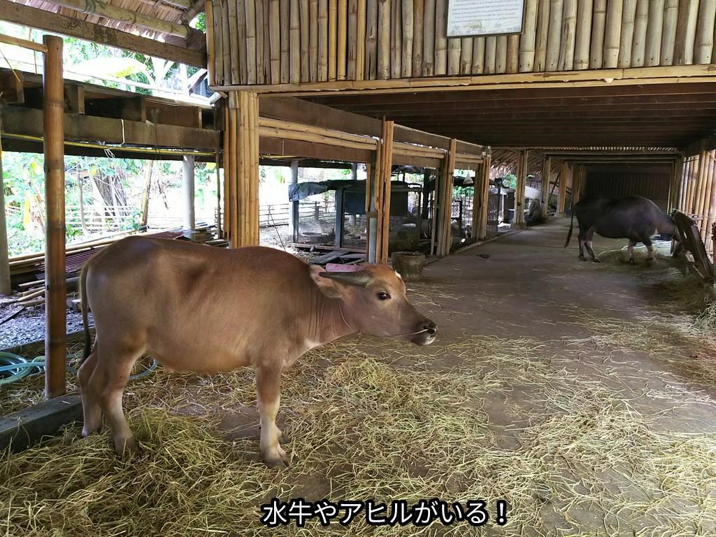 水牛やアヒルがいる!