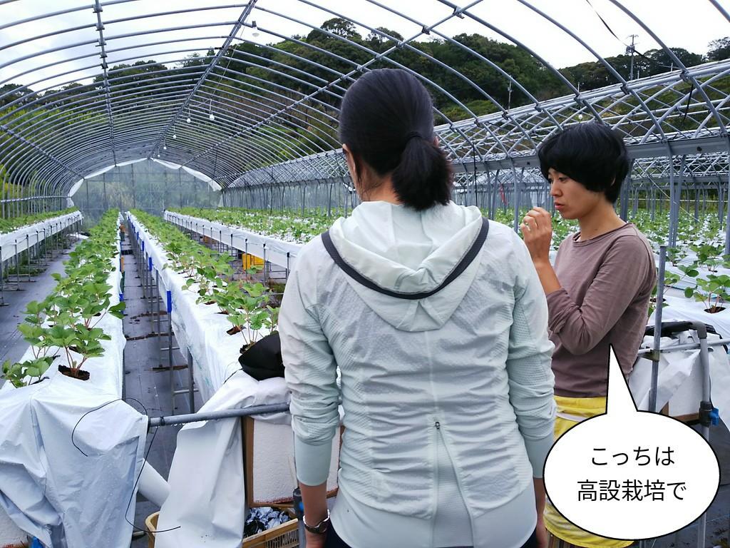 こっちは高設栽培で