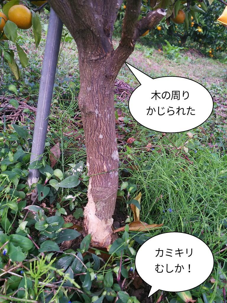 木の周りかじられた