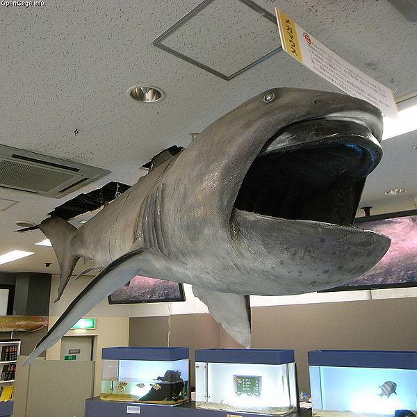 【トカナ】5月に千葉と三重で深海魚の「メガマウス」見つかって、7月末までにM6.0以上の地震が起こるってみたけど、来なくね?