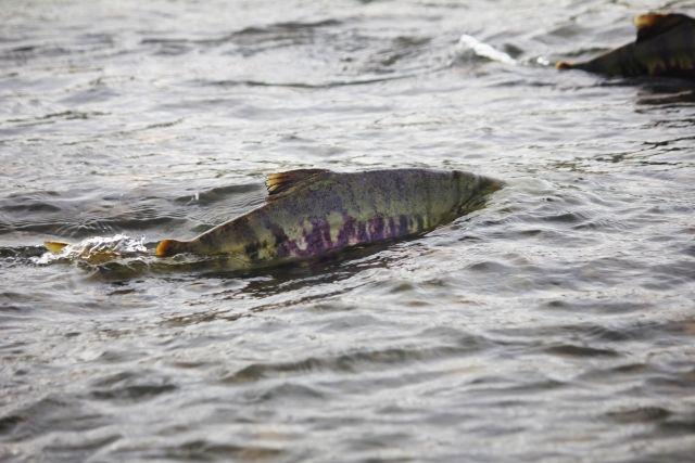 【気候変動】北海道で「サケ」が記録的な不漁でかつての「8分の1」まで減少