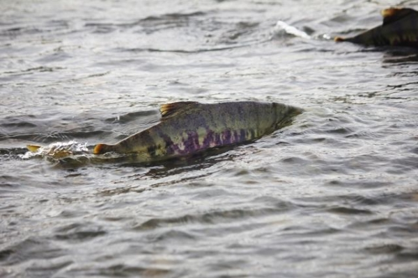 Salmon47788.jpg