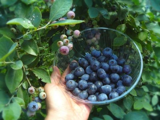 blueberry648743.jpg