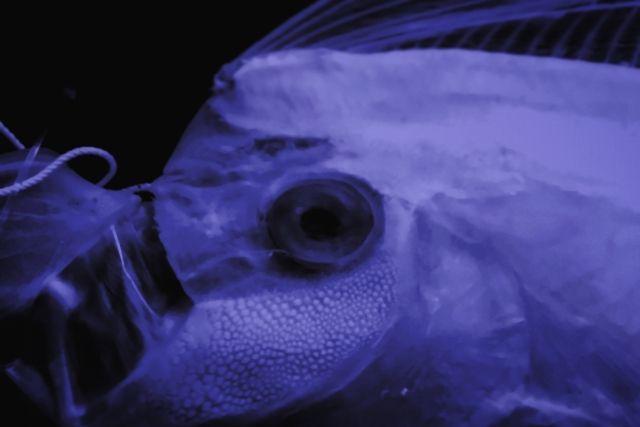 【鹿児島】海岸に深海魚「リュウグウノツカイ」が漂着しているのを発見!漂着例は珍しい