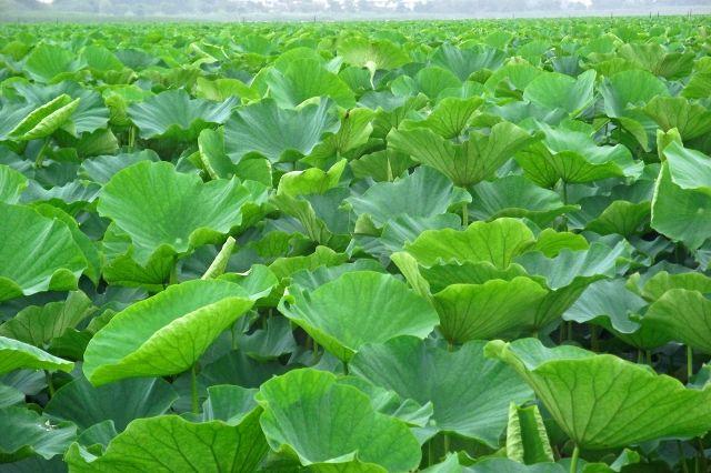 【神奈川】池に覆っていた「ハス」が姿消す…原因は不明