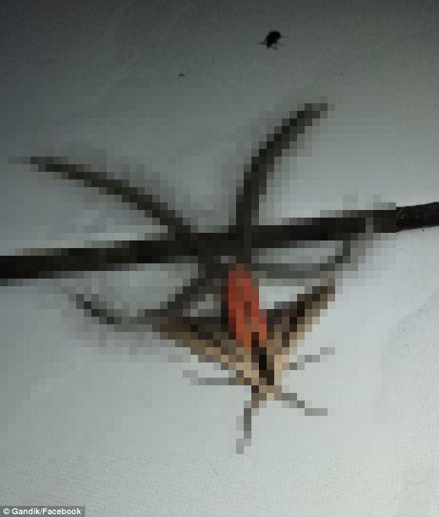 【閲覧注意】オーストラリアで「奇妙な蛾(ガ)」が発見される…異世界の昆虫かと話題に