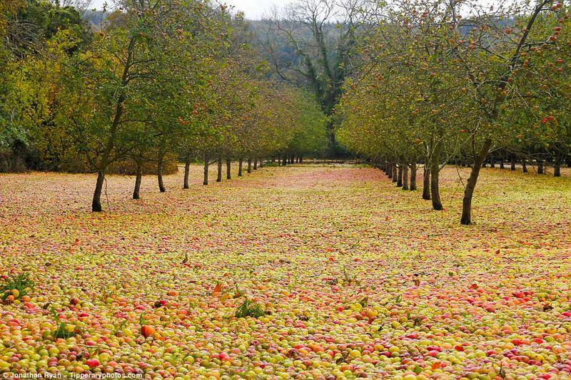 ハリケーンに襲われたアイルランドのリンゴ農園…落ちたリンゴで地面が覆い尽くされ、大変な有様に