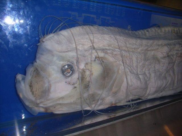 【地震予測】深海魚と地震は無関係…東海大などが検証、場所が一致したのは「ほとんどなし」