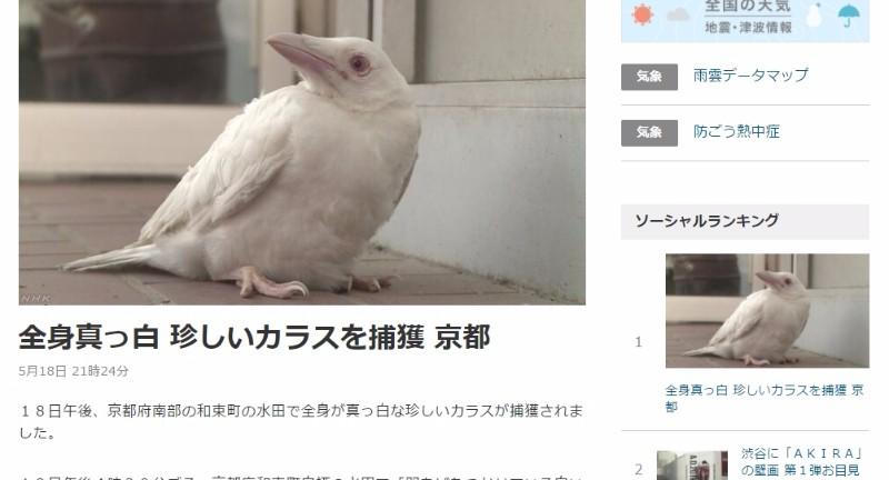 【アルビノ】京都で真っ白の姿をした「カラス」が見つかり捕獲!