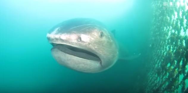 【地震予知】千葉県沖の定置網に巨大深海サメ「メガマウス」がかかる…メガマウスが見つかると大地震が起きる法則
