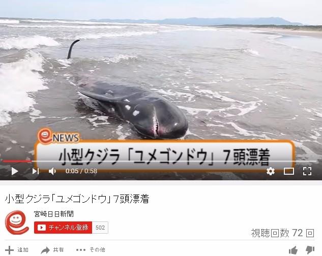 【前触れ】宮崎県の海岸に珍しい「ユメゴンドウクジラ」7頭が打ち上げられているのが見つかる!