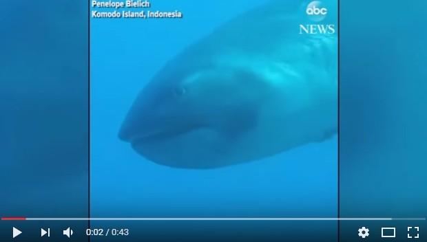 【コモド島沖】謎に包まれている深海サメ「メガマウス」をインドネシアで発見…泳いでいる姿が撮影される!