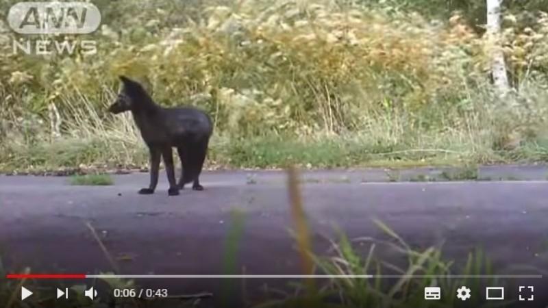 【凶兆】北海道で珍しい「黒いキツネ」を撮影…「犬だと思った。顔は明らかに狐だった」