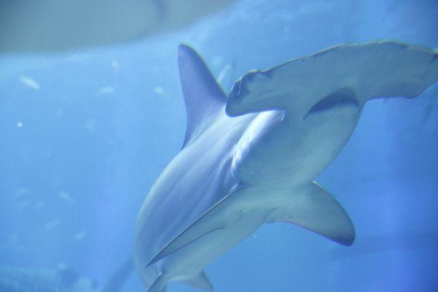 【静岡】浜名湖で「シュモクザメ」が見つかる!浜名湖で見つかるのは初めて