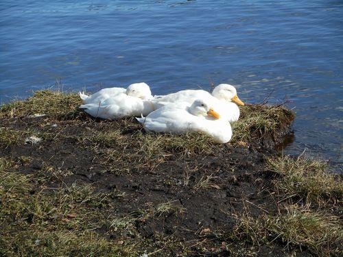 志高湖の白鳥ブログに