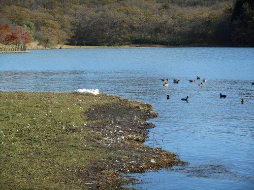 志高湖の水鳥ブログに