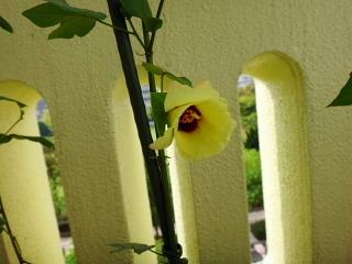 和綿白・洋棉茶がはじけた日に咲いた花