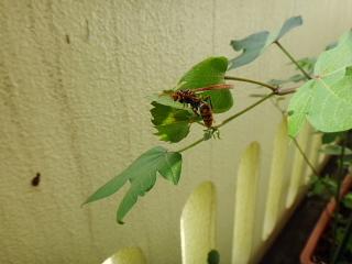 棉が好きらしいハチ