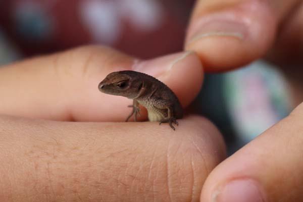 カナヘビ赤ちゃん