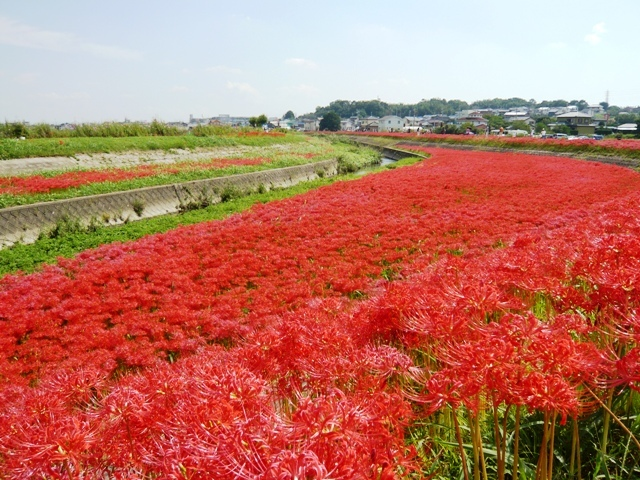 ごんの秋まつり:矢勝川堤の彼岸花5