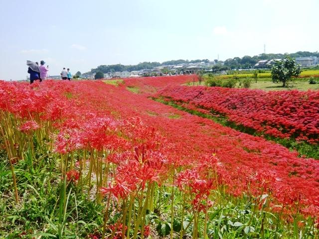 ごんの秋まつり:矢勝川堤の彼岸花1