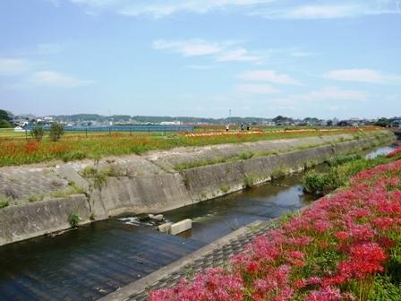 ごんの秋まつり:矢勝川堤の彼岸花8