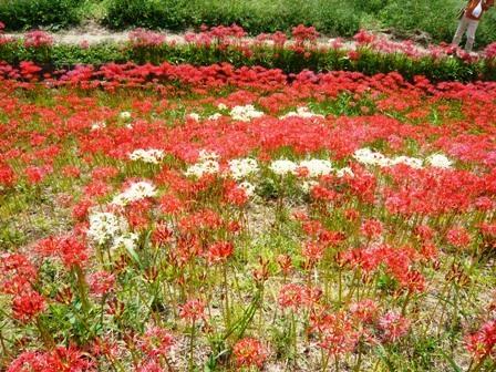ごんの秋まつり:矢勝川堤の彼岸花7