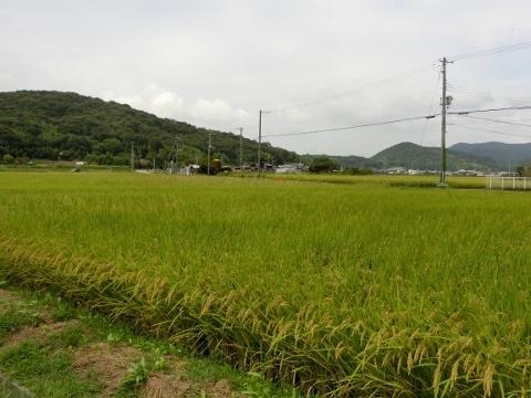 2017-09-23 彼岸花 053 (480x360)