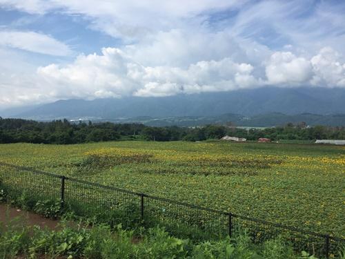 明野ひまわり畑2017