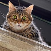 見下ろすトラ猫Pixabay