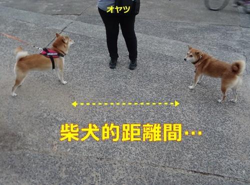 6柴犬的距離