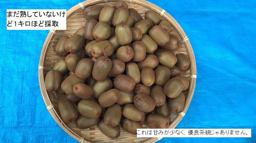 シマサルナシの収穫