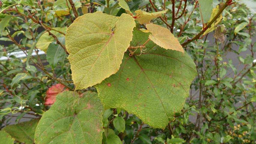 ヤマブドウの葉