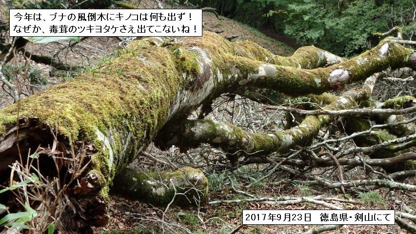 ブナの風倒木