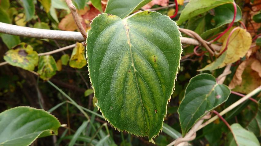 サルナシの葉