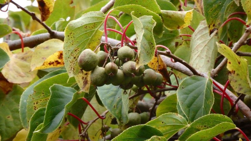 サルナシの着果風景