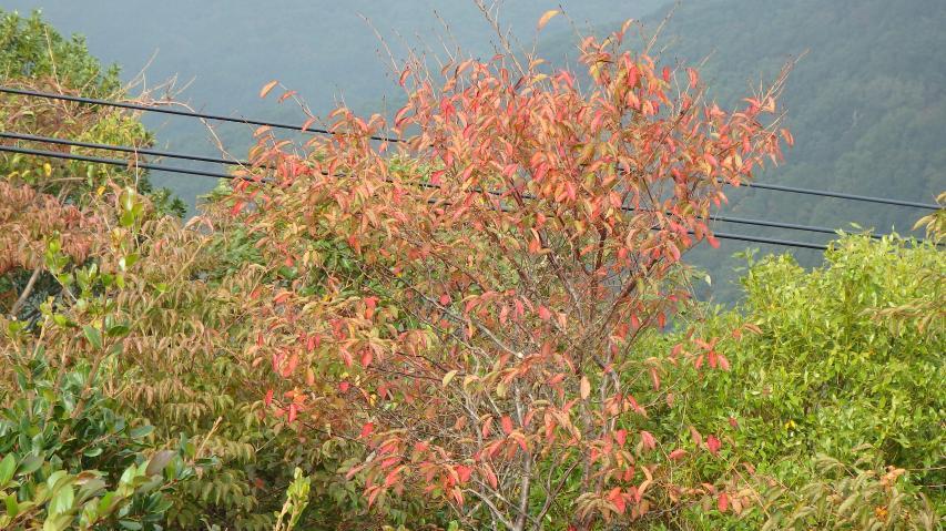 紅葉初期、サクラの木。