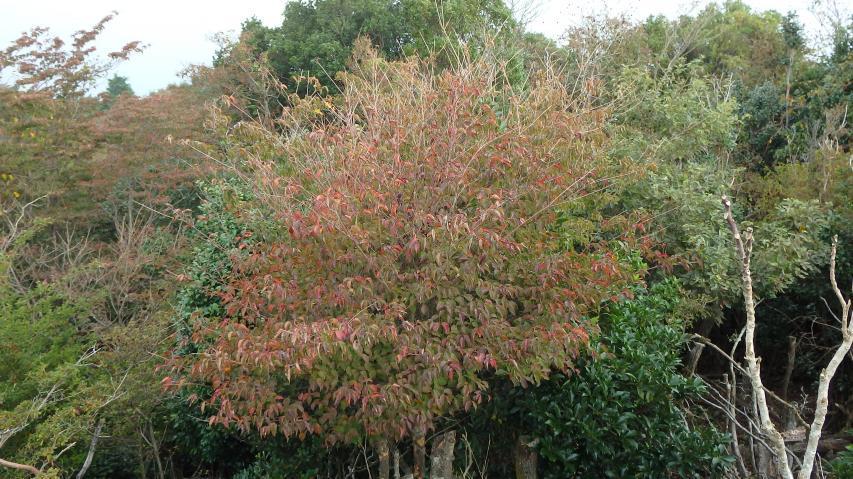紅葉初期、ヤマボウシ。
