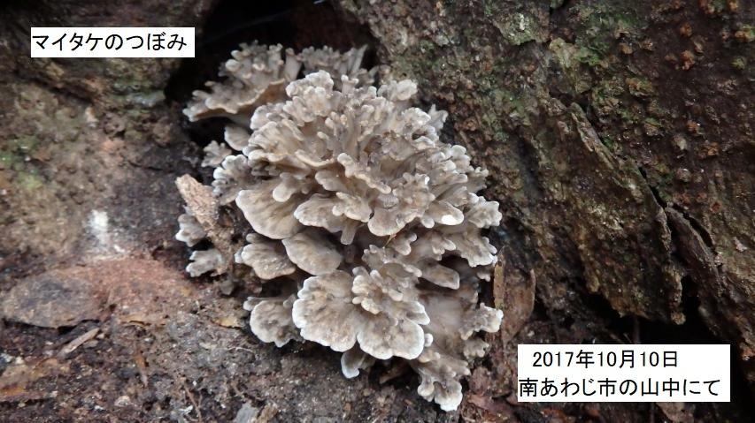 これは樫の木の根際に出てきたマイタケの蕾