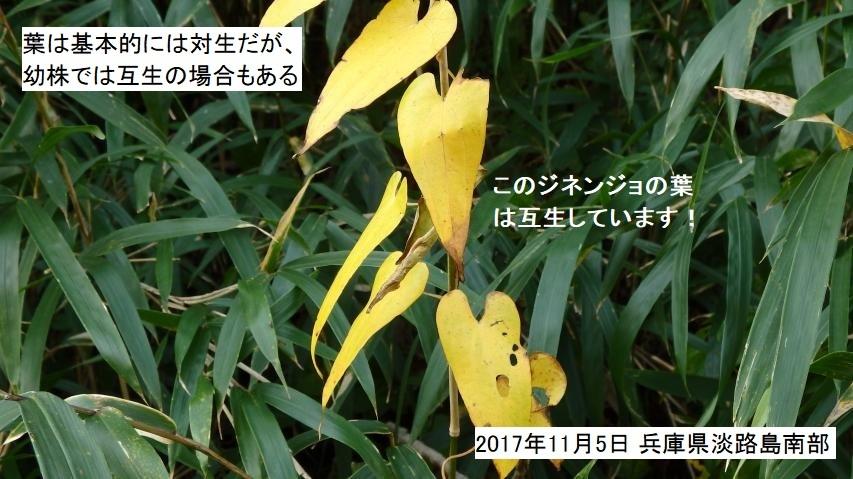 ジネンジョの黄葉 (標準和名はヤマノイモ)