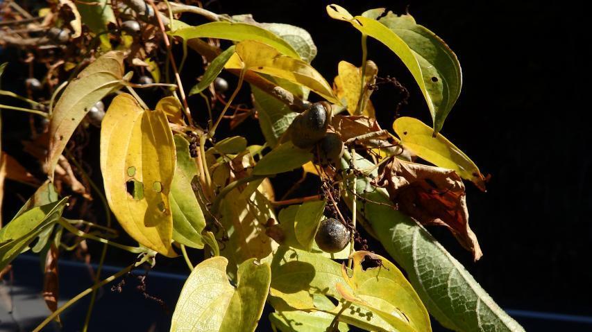 ジネンジョの黄葉