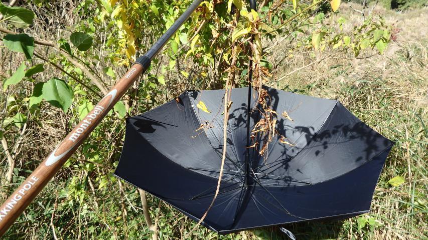 むかごの採取は傘を使う