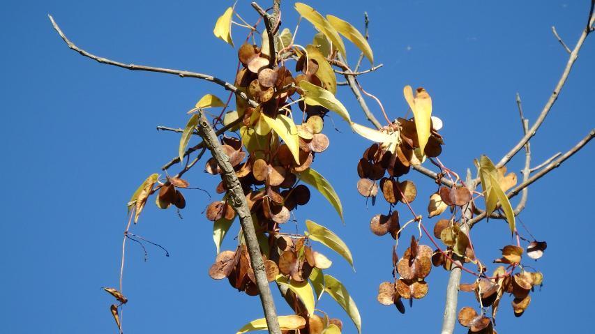 ジネンジョの果実